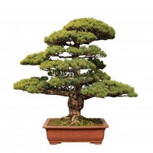 Steve Prentice - Bonsai Tree