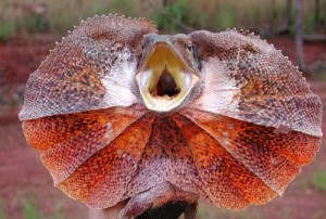 Australian Frilled Lizard - Image from Google Images. Click for link.